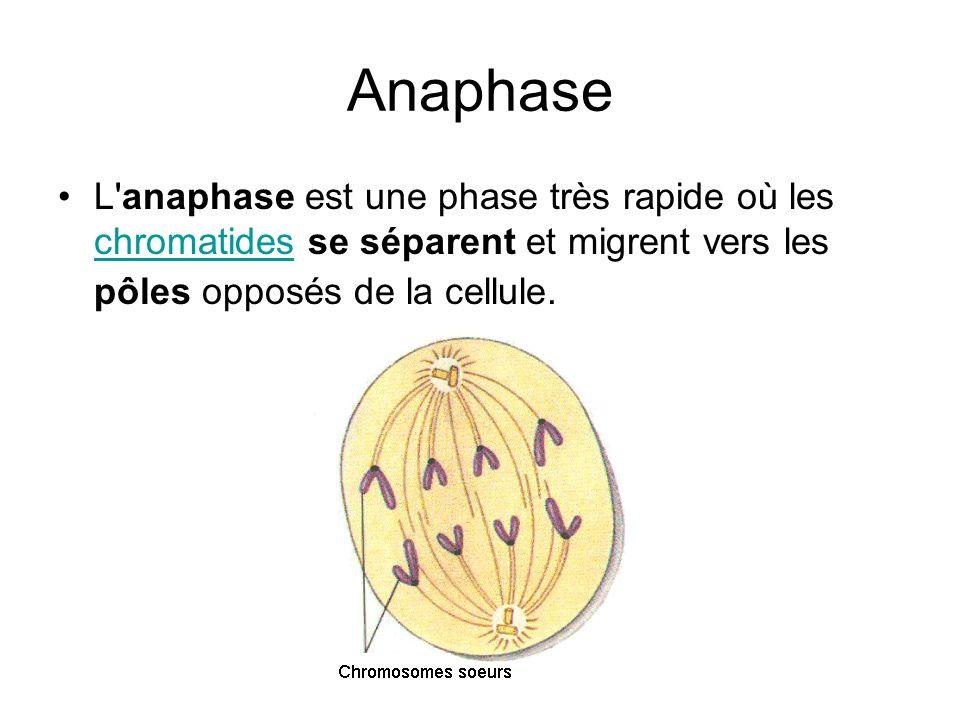 Anaphase L'anaphase est une phase très rapide où les chromatides se séparent et migrent vers les pôles opposés de la cellule. chromatides