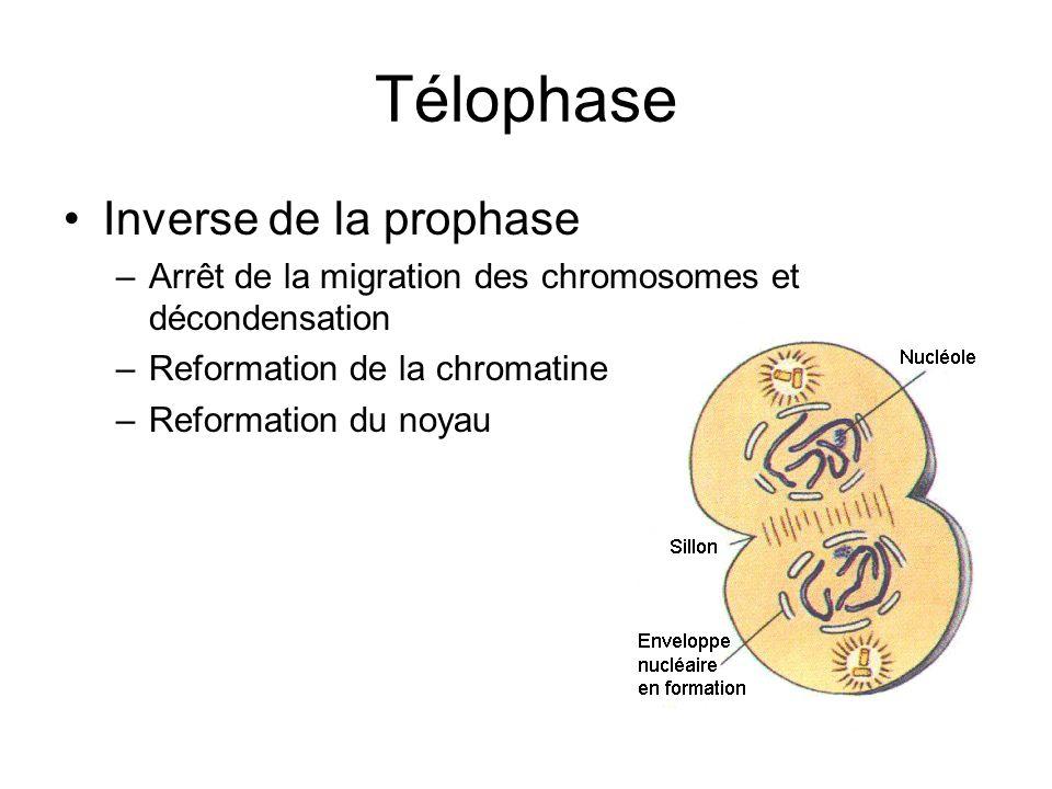 Télophase Inverse de la prophase –Arrêt de la migration des chromosomes et décondensation –Reformation de la chromatine –Reformation du noyau