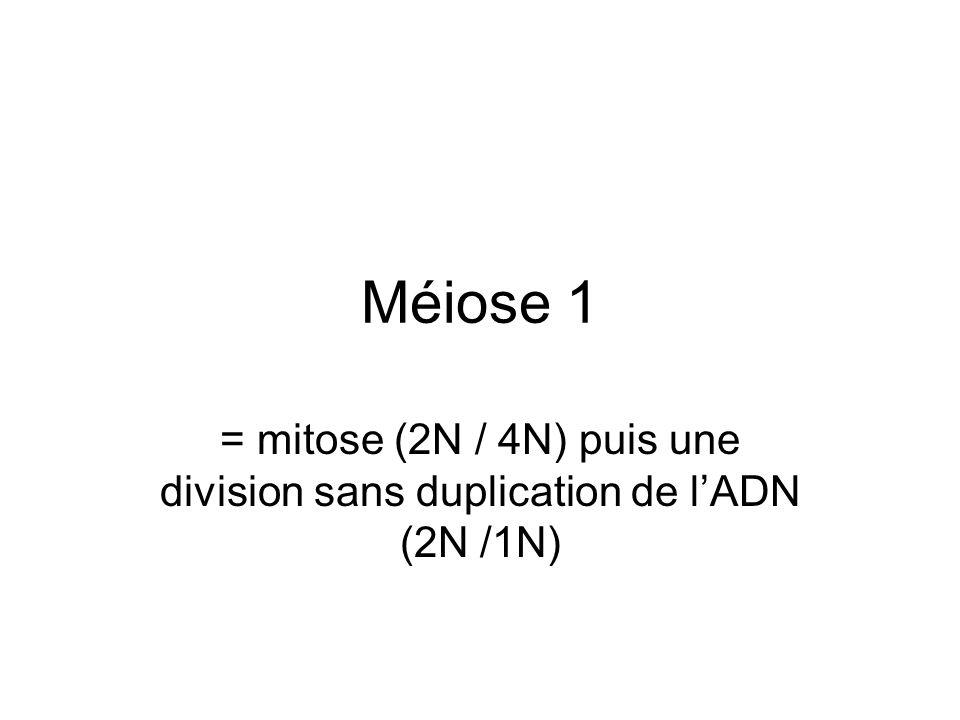 Méiose 1 = mitose (2N / 4N) puis une division sans duplication de lADN (2N /1N)