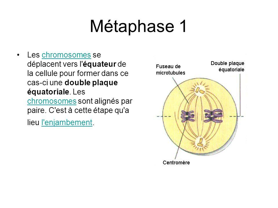 Métaphase 1 Les chromosomes se déplacent vers l'équateur de la cellule pour former dans ce cas-ci une double plaque équatoriale. Les chromosomes sont
