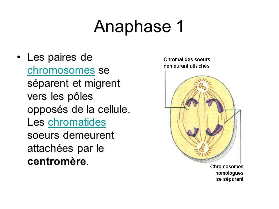Anaphase 1 Les paires de chromosomes se séparent et migrent vers les pôles opposés de la cellule. Les chromatides soeurs demeurent attachées par le ce
