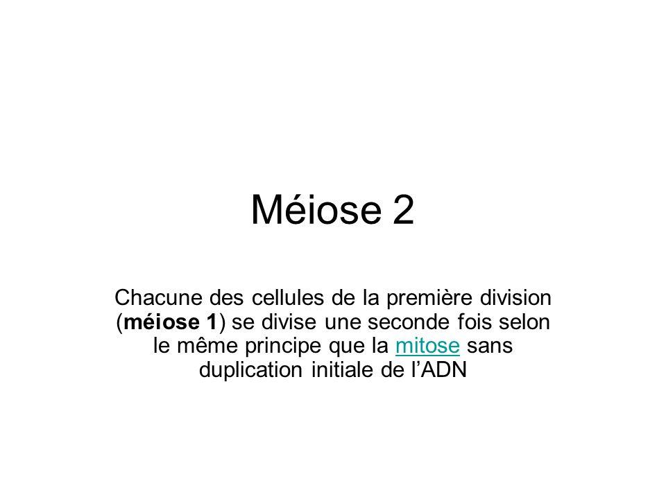 Méiose 2 Chacune des cellules de la première division (méiose 1) se divise une seconde fois selon le même principe que la mitose sans duplication init