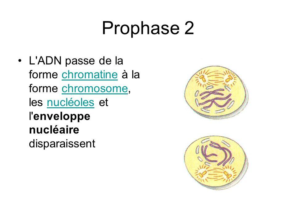 Prophase 2 L'ADN passe de la forme chromatine à la forme chromosome, les nucléoles et l'enveloppe nucléaire disparaissentchromatinechromosomenucléoles