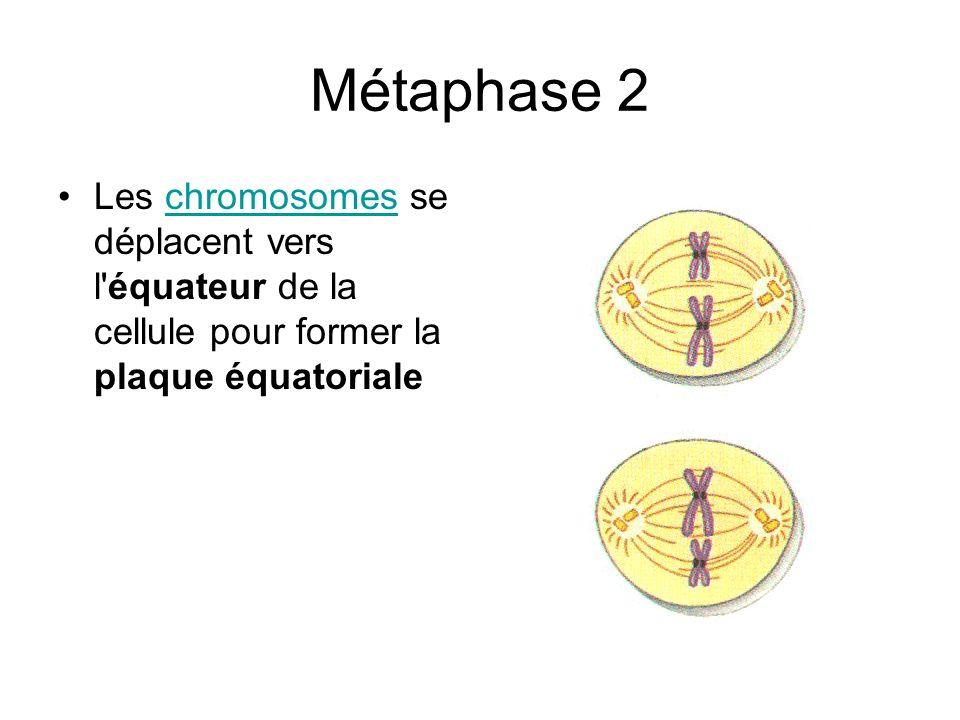 Métaphase 2 Les chromosomes se déplacent vers l'équateur de la cellule pour former la plaque équatorialechromosomes