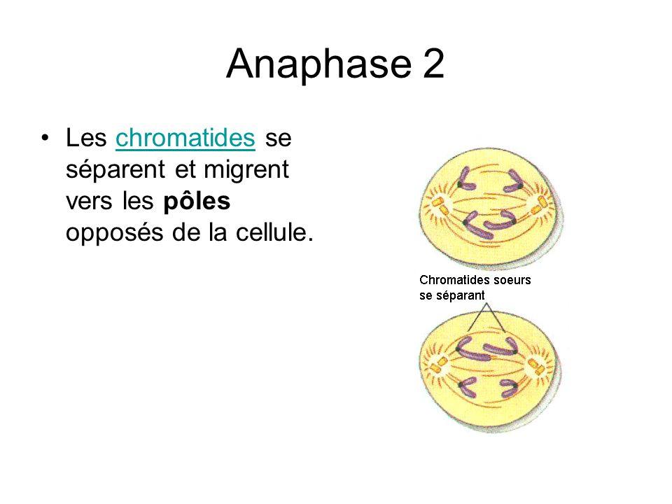 Anaphase 2 Les chromatides se séparent et migrent vers les pôles opposés de la cellule.chromatides