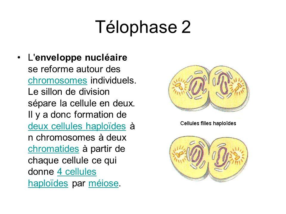 Télophase 2 L'enveloppe nucléaire se reforme autour des chromosomes individuels. Le sillon de division sépare la cellule en deux. Il y a donc formatio