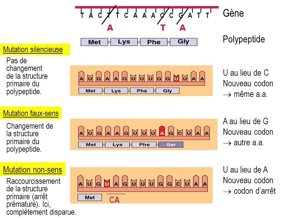 I I I I I I I I I I I I I I I T A C T T C A A A C C G A T T Polypeptide Gène Mutation silencieuse U au lieu de C Nouveau codon même a.a. A Pas de chan