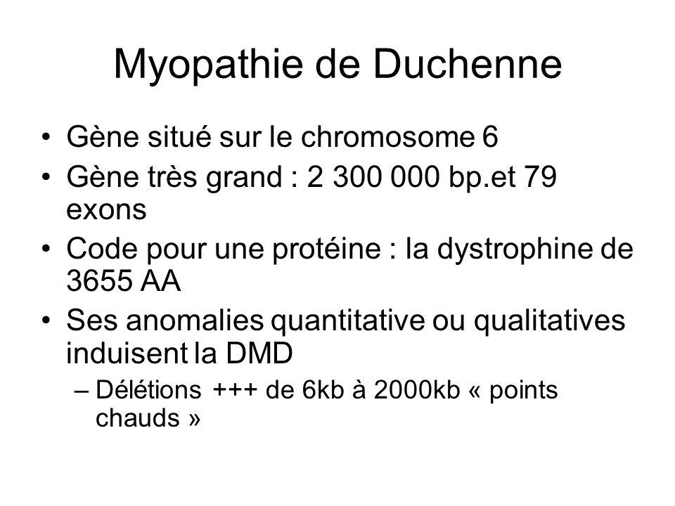 Myopathie de Duchenne Gène situé sur le chromosome 6 Gène très grand : 2 300 000 bp.et 79 exons Code pour une protéine : la dystrophine de 3655 AA Ses