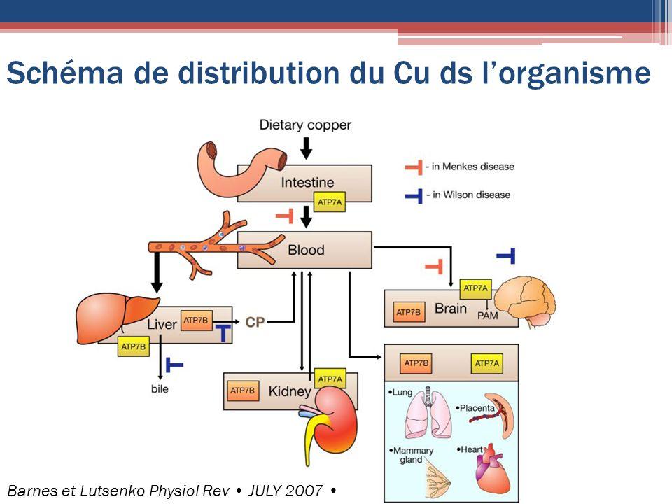 Schéma de distribution du Cu ds lorganisme Barnes et Lutsenko Physiol Rev JULY 2007