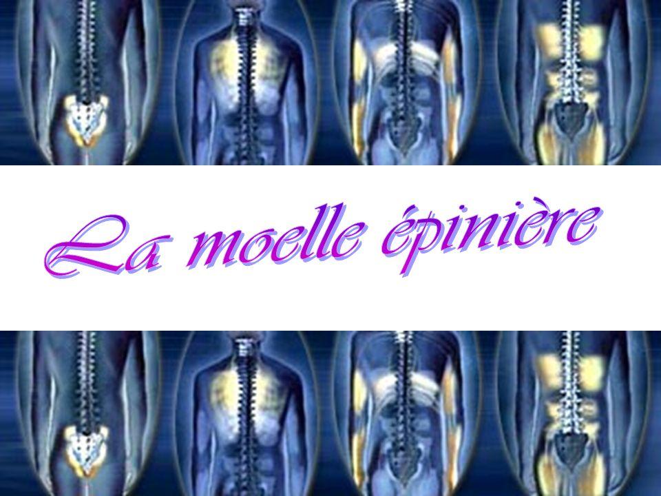 Anatomie de la moelle épinière Attention, à ne pas confondre avec la moelle osseuse qui fabrique les globules et autres cellules sanguines !!