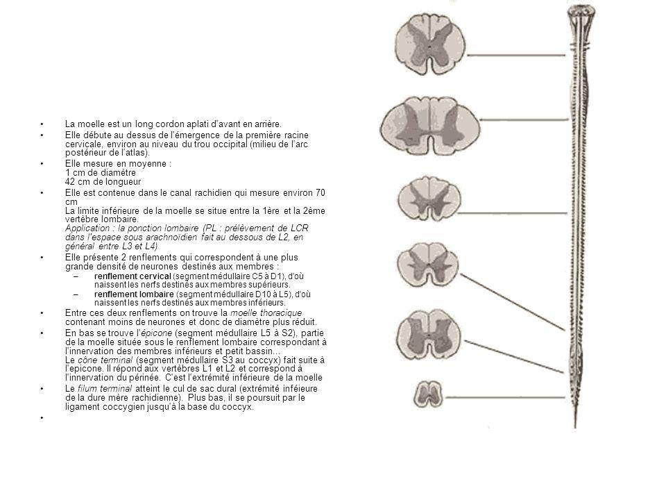 La moelle est un long cordon aplati d'avant en arrière. Elle débute au dessus de l'émergence de la première racine cervicale, environ au niveau du tro