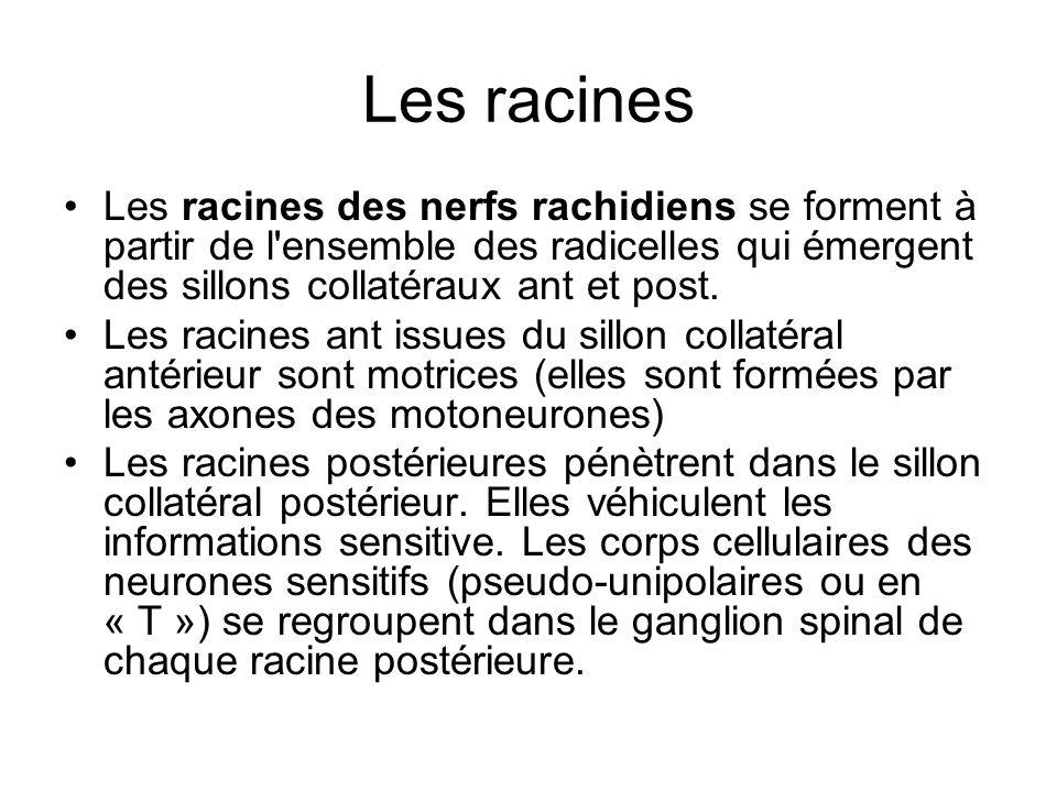 Les racines Les racines des nerfs rachidiens se forment à partir de l'ensemble des radicelles qui émergent des sillons collatéraux ant et post. Les ra