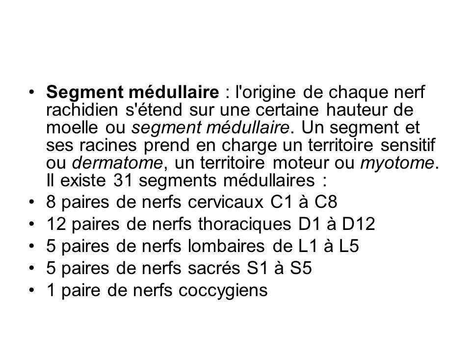 Segment médullaire : l'origine de chaque nerf rachidien s'étend sur une certaine hauteur de moelle ou segment médullaire. Un segment et ses racines pr