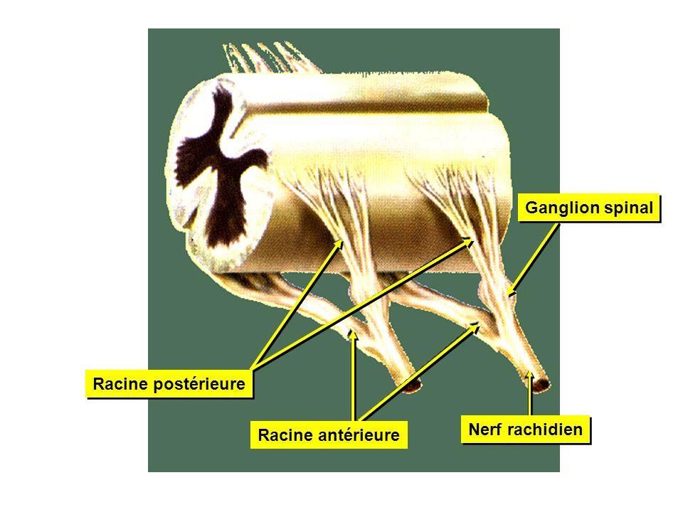 Racine postérieure Racine antérieure Ganglion spinal