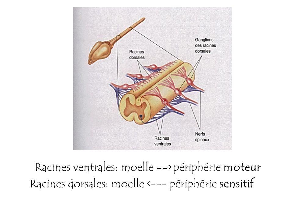 Racines ventrales: moelle --> périphérie moteur Racines dorsales: moelle <--- périphérie sensitif