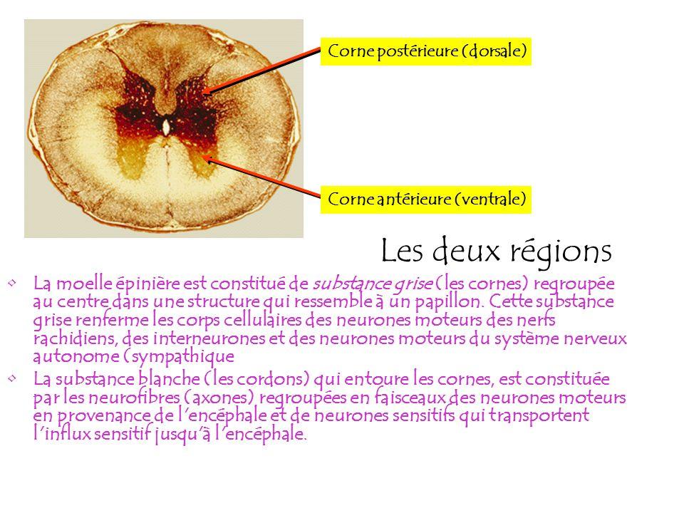 Les deux régions La moelle épinière est constitué de substance grise (les cornes) regroupée au centre dans une structure qui ressemble à un papillon.