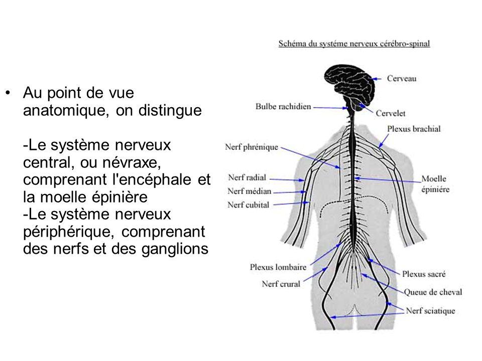 Au point de vue anatomique, on distingue -Le système nerveux central, ou névraxe, comprenant l'encéphale et la moelle épinière -Le système nerveux pér
