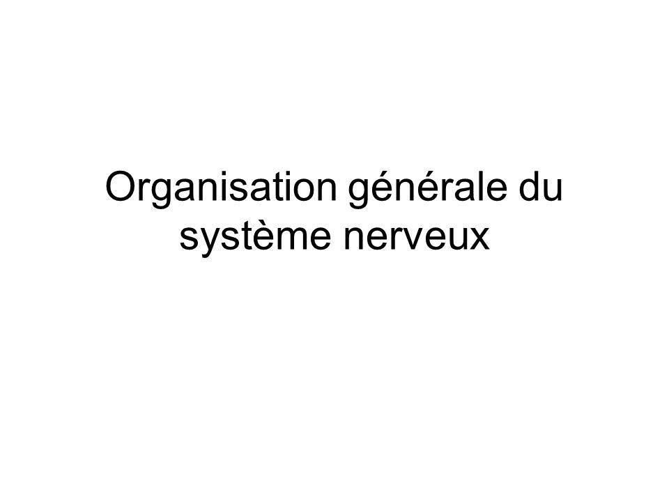 Organisation générale du système nerveux