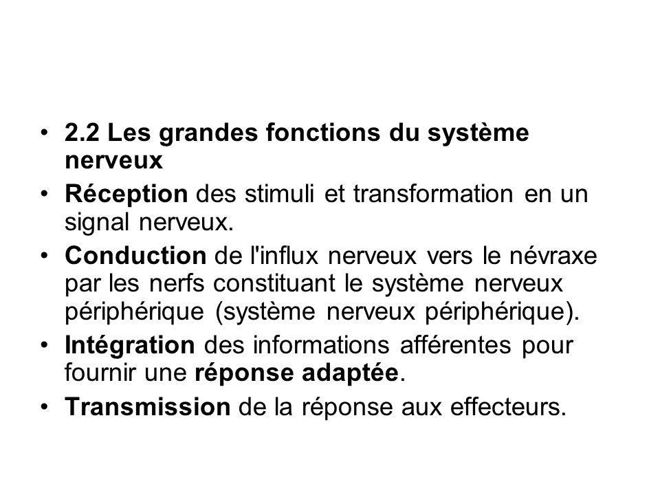 2.2 Les grandes fonctions du système nerveux Réception des stimuli et transformation en un signal nerveux. Conduction de l'influx nerveux vers le névr