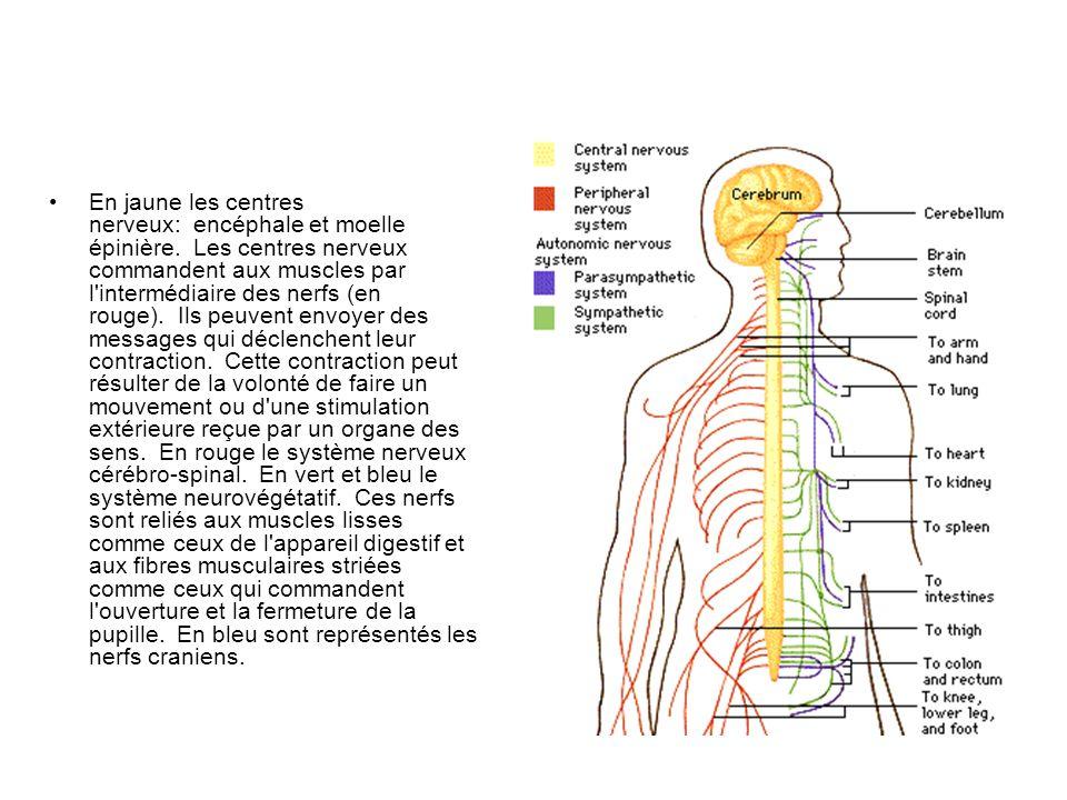 En jaune les centres nerveux: encéphale et moelle épinière. Les centres nerveux commandent aux muscles par l'intermédiaire des nerfs (en rouge). Ils p