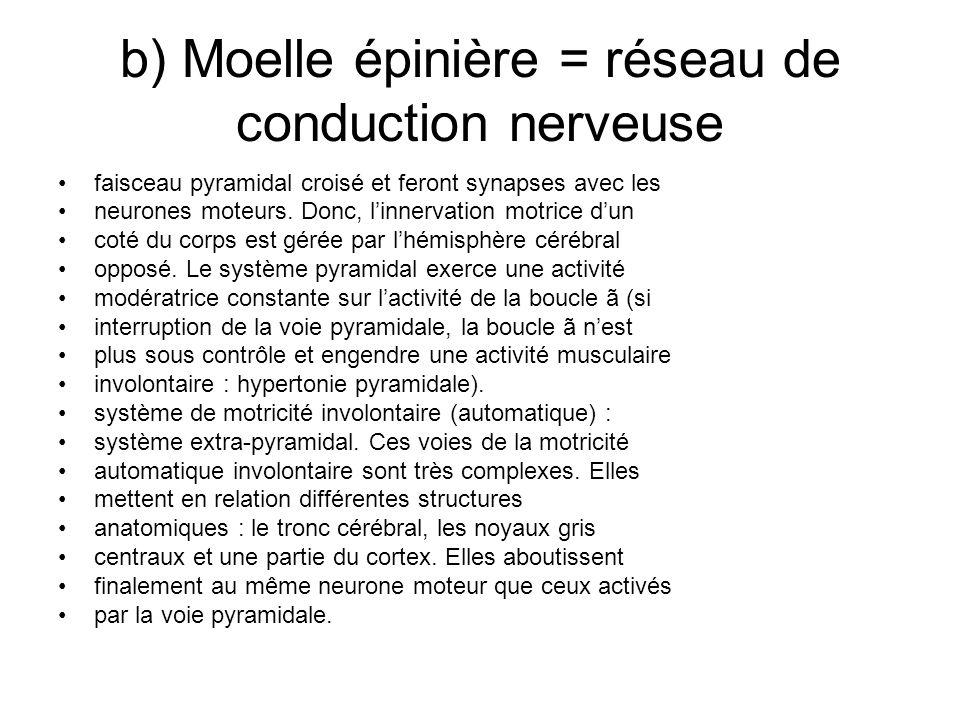 b) Moelle épinière = réseau de conduction nerveuse faisceau pyramidal croisé et feront synapses avec les neurones moteurs. Donc, linnervation motrice