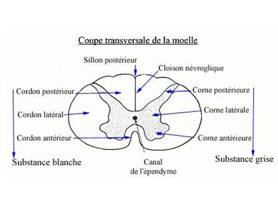 a) Moelle épinière = centre réflexe - Réflexe poly-synaptique : cest un réflexe à point de départ cutané, qui est emmené à la corne postérieure de la moelle épinière où il fait synapse avec des inter-neurones qui véhiculent linformation jusquà la corne antérieure de la moelle épinière concernée mais également aux cornes antérieures des étages médullaires voisins.