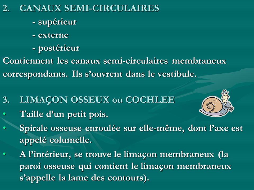 2.CANAUX SEMI-CIRCULAIRES - supérieur - supérieur - externe - externe - postérieur - postérieur Contiennent les canaux semi-circulaires membraneux cor