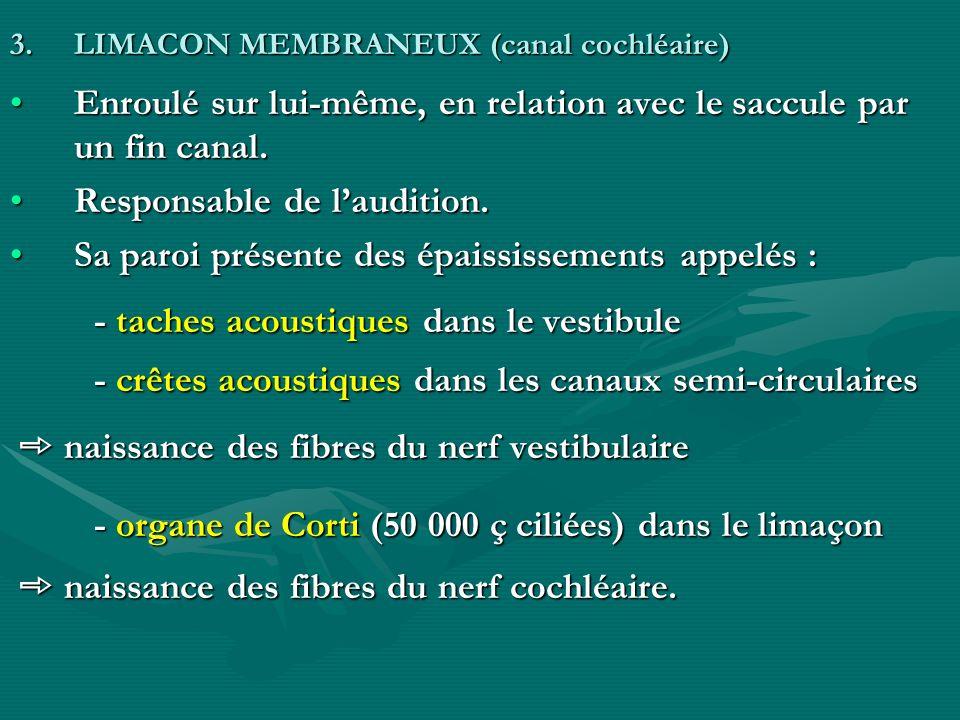 3.LIMACON MEMBRANEUX (canal cochléaire) Enroulé sur lui-même, en relation avec le saccule par un fin canal.Enroulé sur lui-même, en relation avec le s