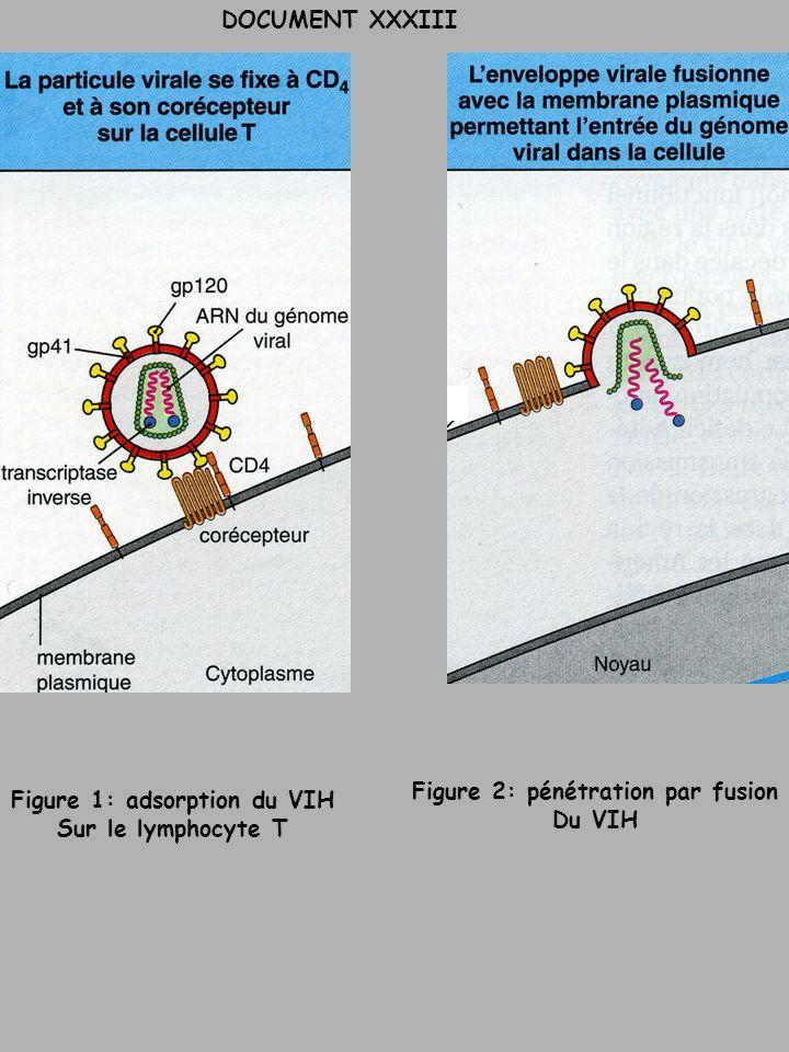 DOCUMENT XXXIII Figure 1: adsorption du VIH Sur le lymphocyte T Figure 2: pénétration par fusion Du VIH