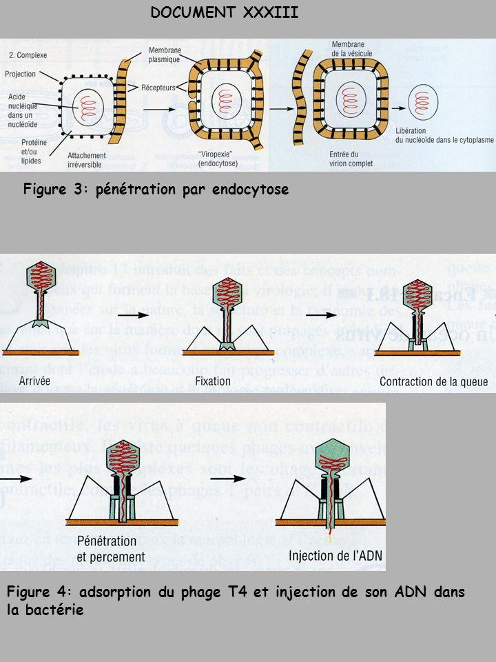DOCUMENT XXXIII Figure 3: pénétration par endocytose Figure 4: adsorption du phage T4 et injection de son ADN dans la bactérie