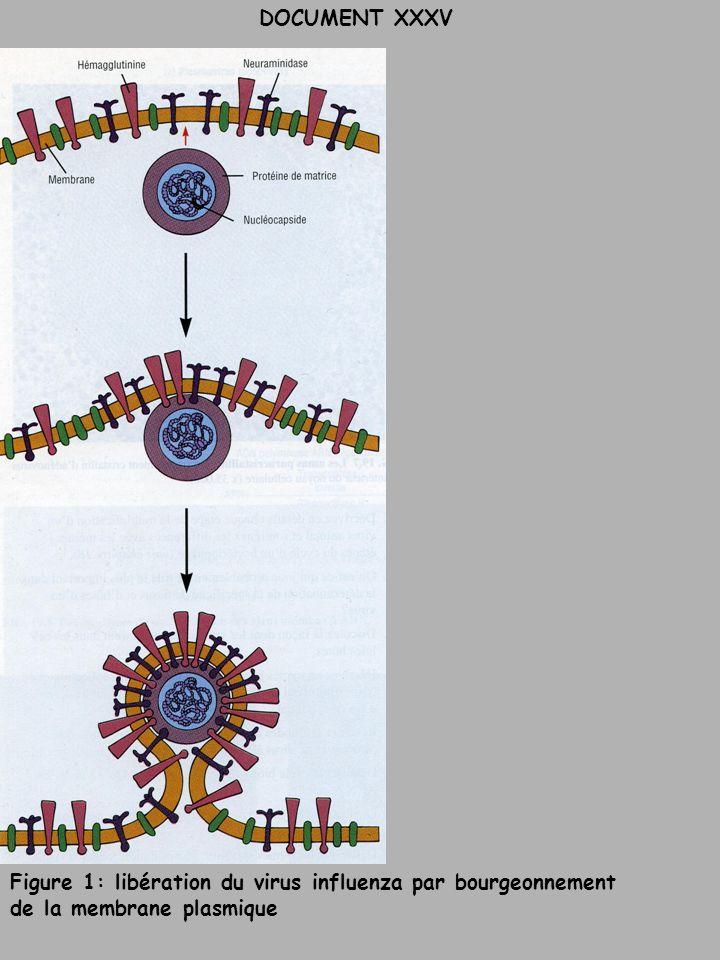 DOCUMENT XXXV Figure 1: libération du virus influenza par bourgeonnement de la membrane plasmique