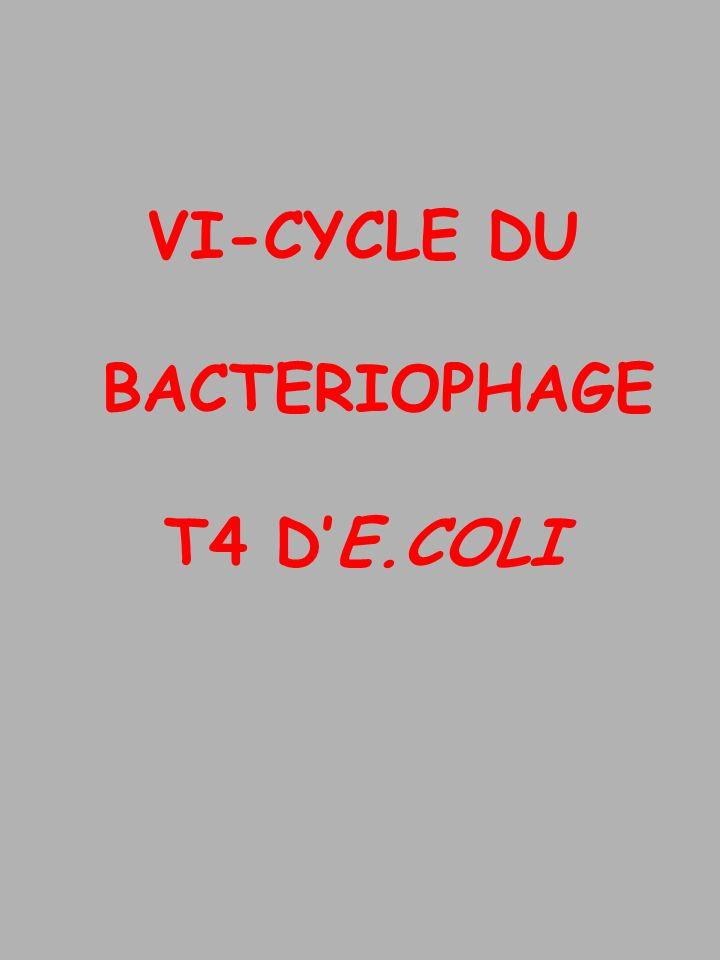 VI-CYCLE DU BACTERIOPHAGE T4 DE.COLI