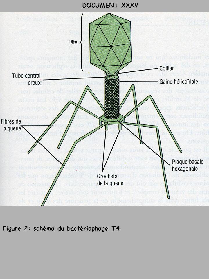 DOCUMENT XXXV Figure 2: schéma du bactériophage T4