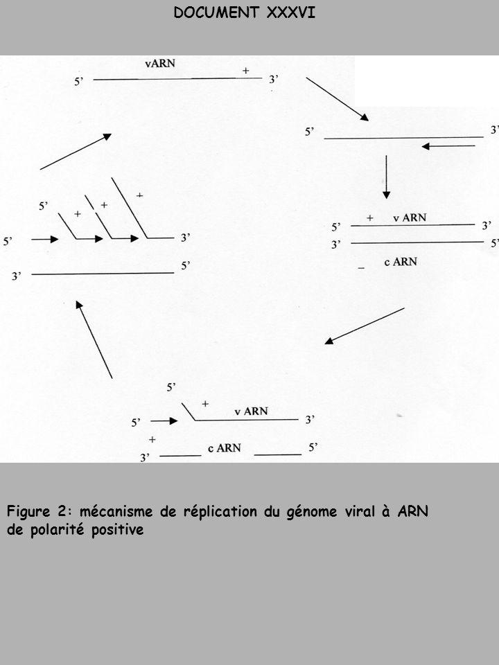 DOCUMENT XXXVI Figure 2: mécanisme de réplication du génome viral à ARN de polarité positive
