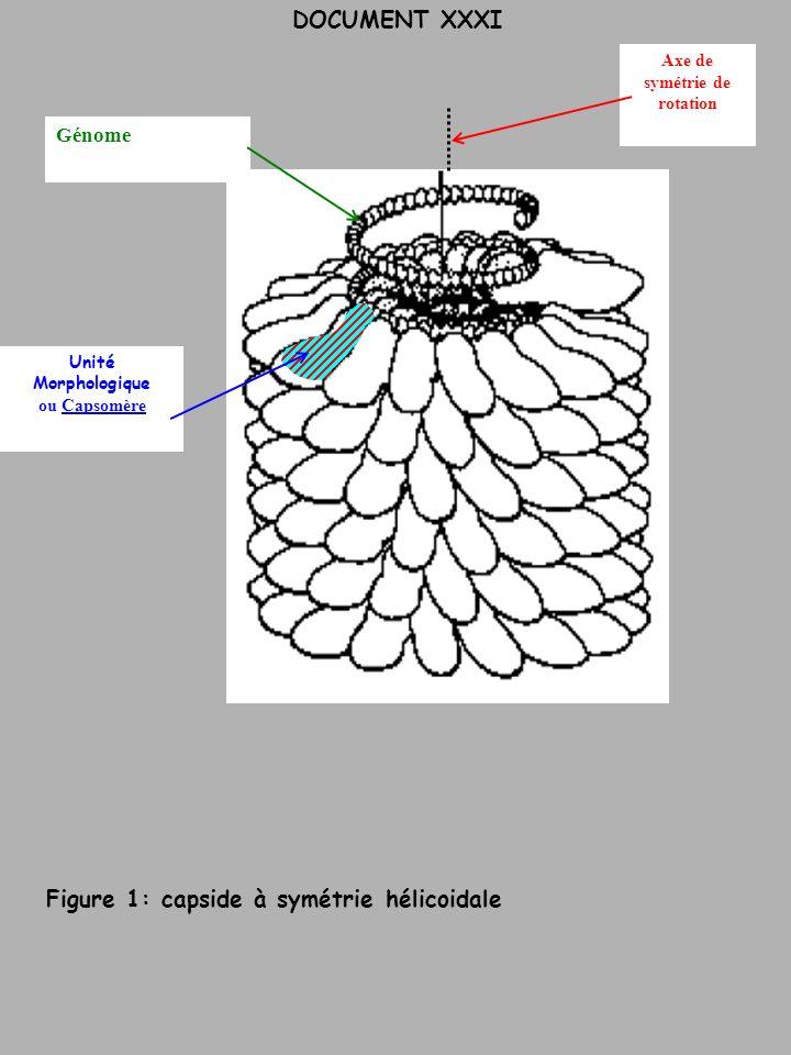 DOCUMENT XXXI Axe de symétrie de rotation Génome Unité Morphologique ou Capsomère Figure 1: capside à symétrie hélicoidale