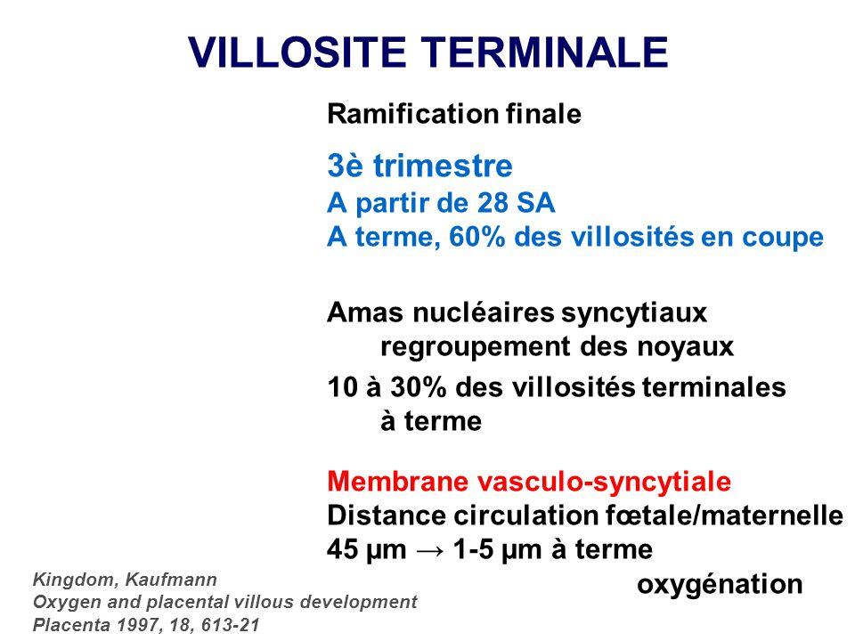 VILLOSITE TERMINALE Ramification finale 3è trimestre A partir de 28 SA A terme, 60% des villosités en coupe Amas nucléaires syncytiaux regroupement de