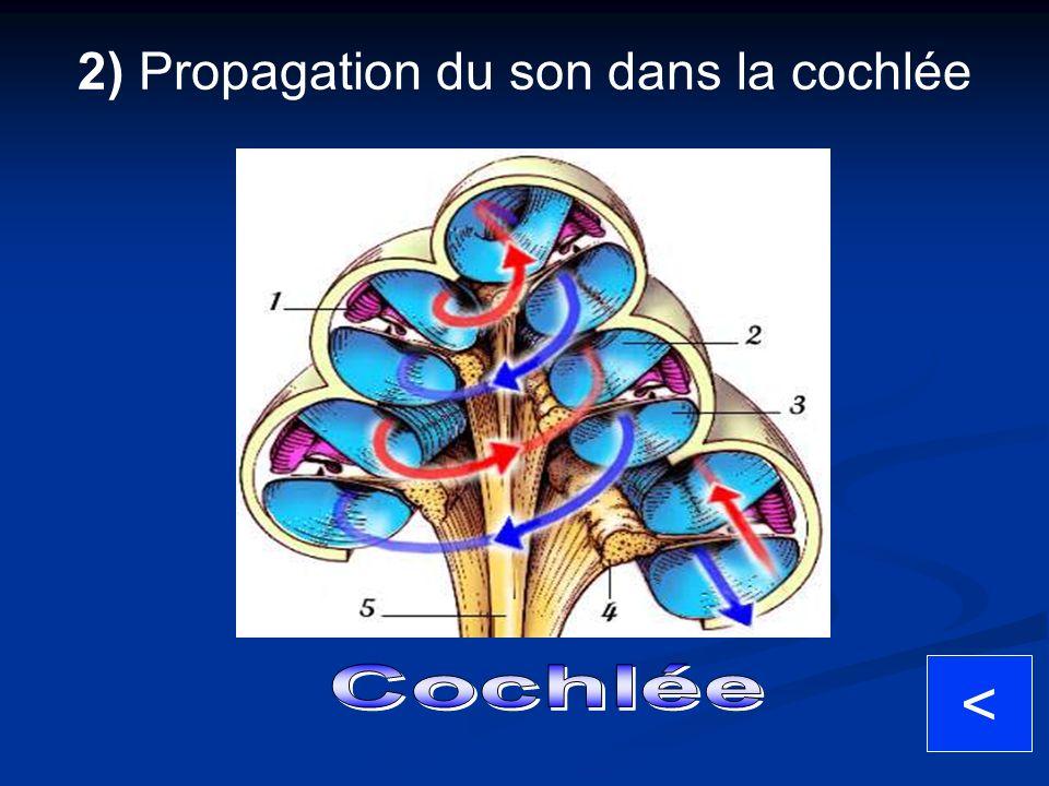 < 2) Propagation du son dans la cochlée