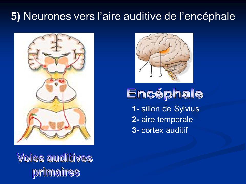5) Neurones vers laire auditive de lencéphale 1- sillon de Sylvius 2- aire temporale 3- cortex auditif