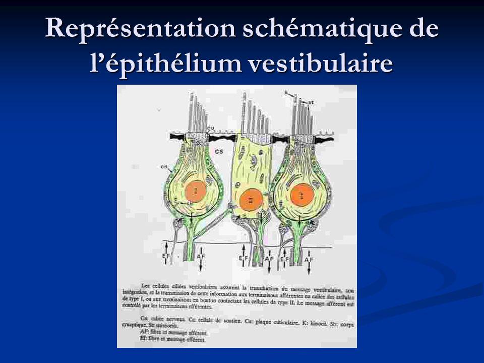 Représentation schématique de lépithélium vestibulaire