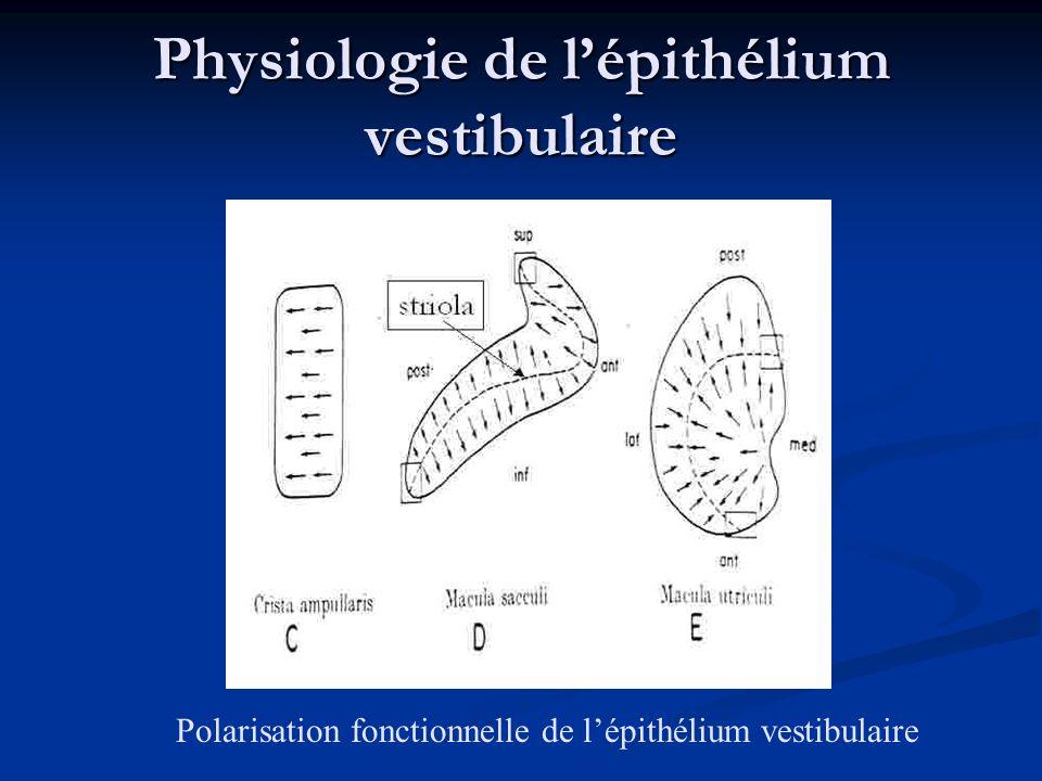 Physiologie de lépithélium vestibulaire Polarisation fonctionnelle de lépithélium vestibulaire striola