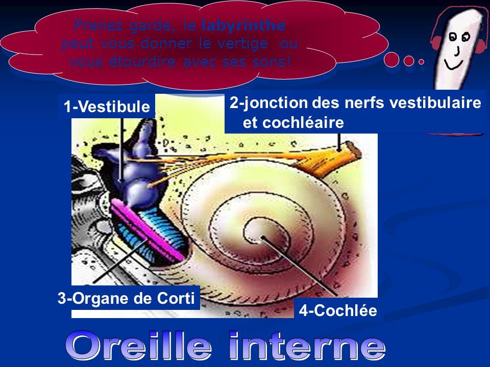 4-Cochlée 1-Vestibule 2-jonction des nerfs vestibulaire et cochléaire 3-Organe de Corti Prenez garde, le labyrinthe peut vous donner le vertige ou vou