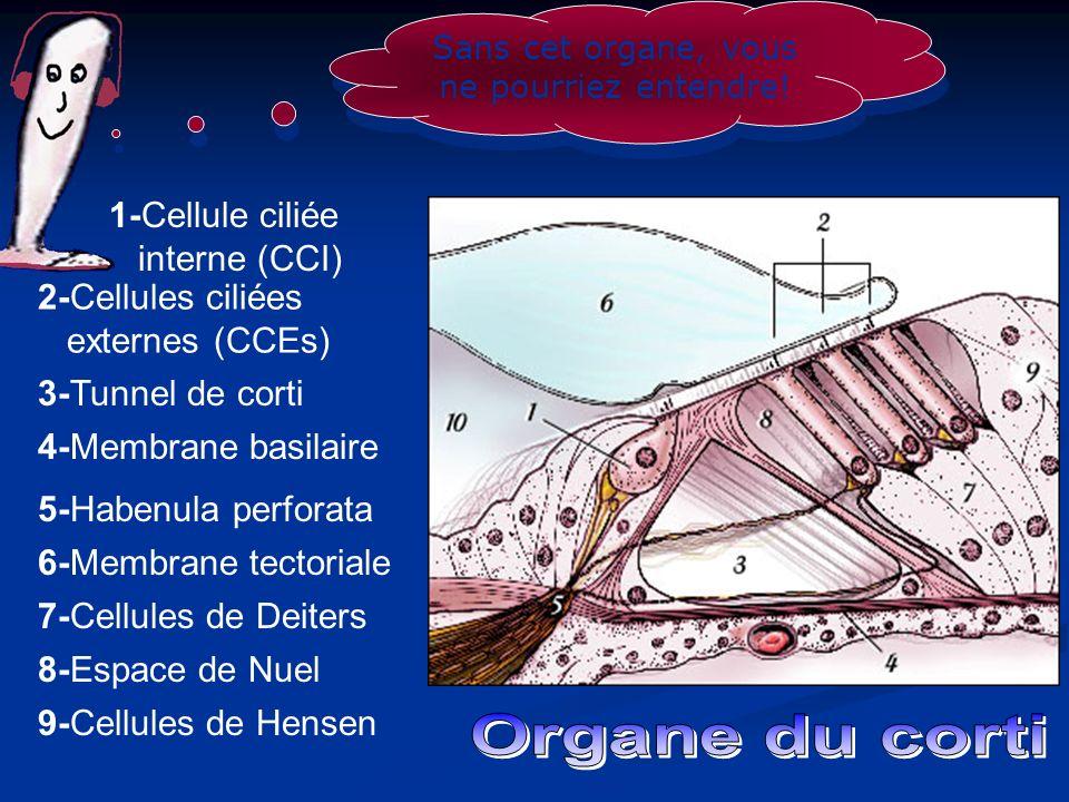 Sans cet organe, vous ne pourriez entendre! 1-Cellule ciliée interne (CCI) 2-Cellules ciliées externes (CCEs) 3-Tunnel de corti 4-Membrane basilaire 5