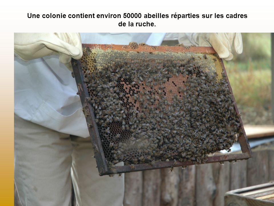 Une colonie contient environ 50000 abeilles réparties sur les cadres de la ruche.