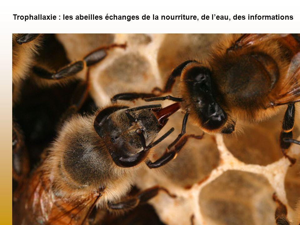 Trophallaxie : les abeilles échanges de la nourriture, de leau, des informations