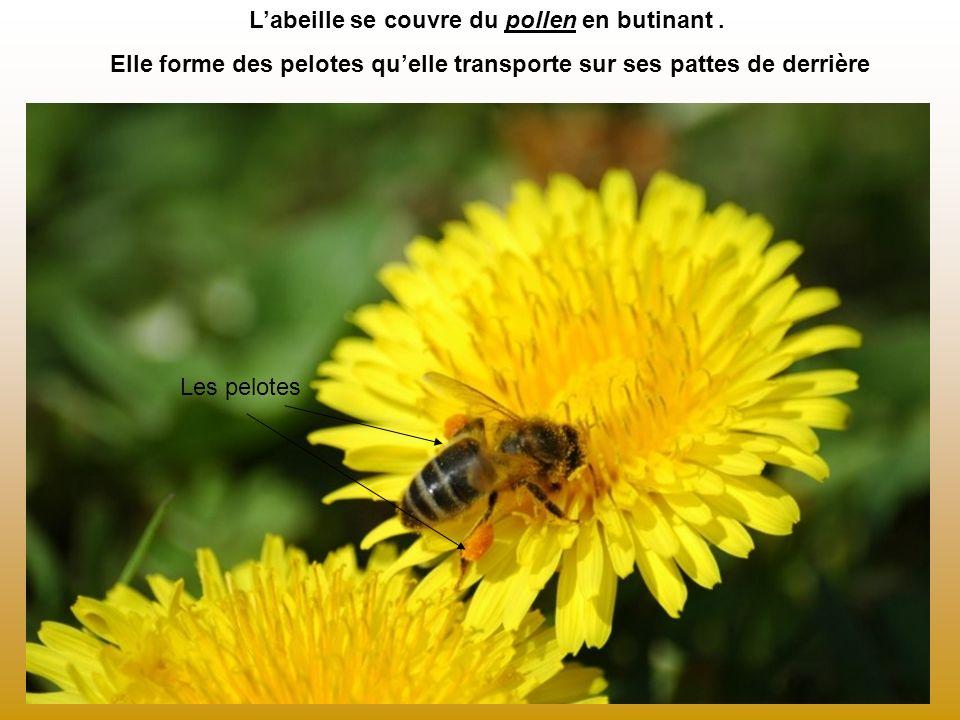Labeille se couvre du pollen en butinant. Elle forme des pelotes quelle transporte sur ses pattes de derrière Les pelotes