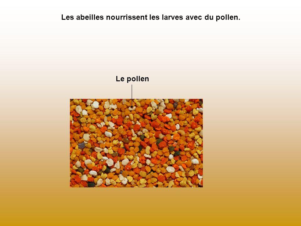 Les abeilles nourrissent les larves avec du pollen. Le pollen