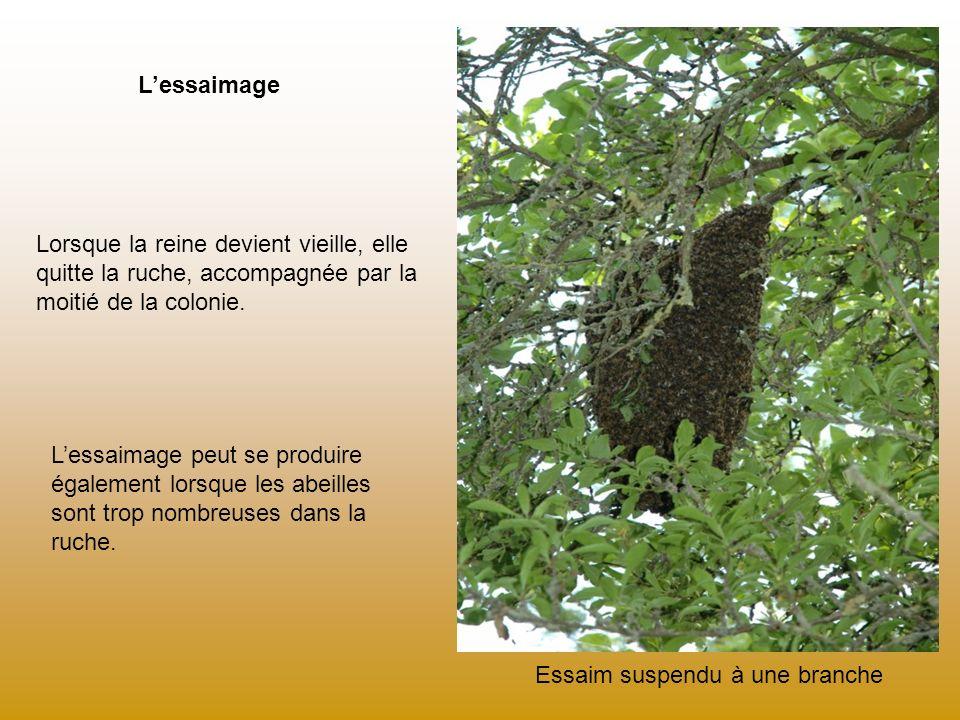 Lessaimage Essaim suspendu à une branche Lorsque la reine devient vieille, elle quitte la ruche, accompagnée par la moitié de la colonie. Lessaimage p
