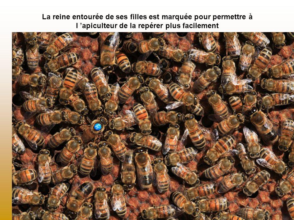 La reine entourée de ses filles est marquée pour permettre à l apiculteur de la repérer plus facilement