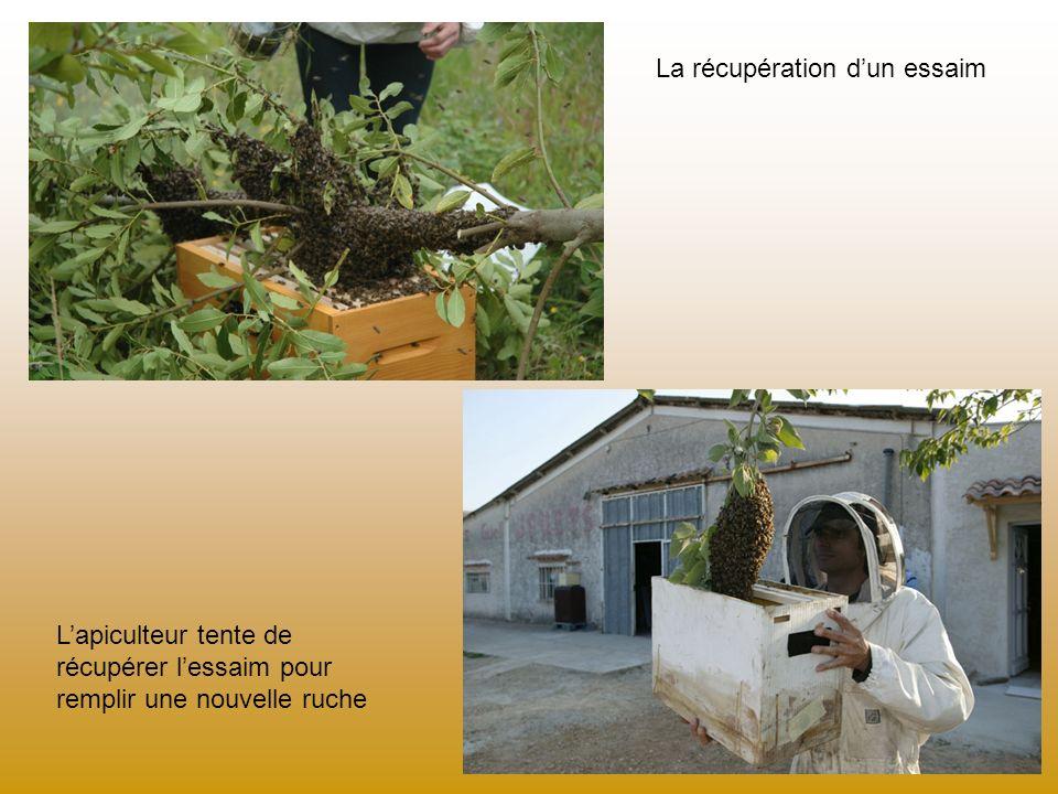 La récupération dun essaim Lapiculteur tente de récupérer lessaim pour remplir une nouvelle ruche