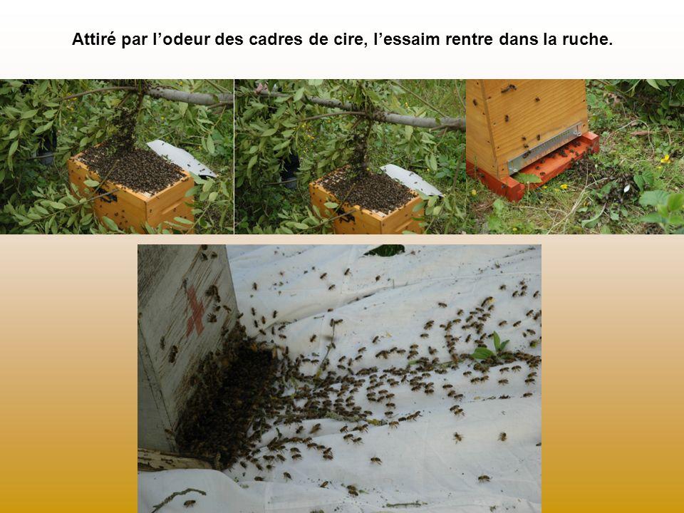 Attiré par lodeur des cadres de cire, lessaim rentre dans la ruche.